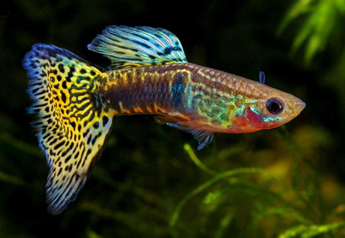 Acquaristica sani come un pesce alla ricerca del for Pesci per laghetti esterni