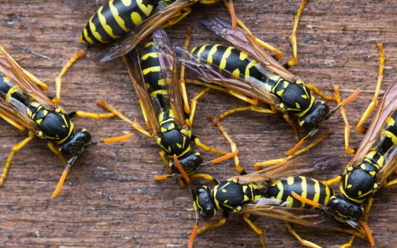 Come riconoscere un nido di vespe e come intervenire
