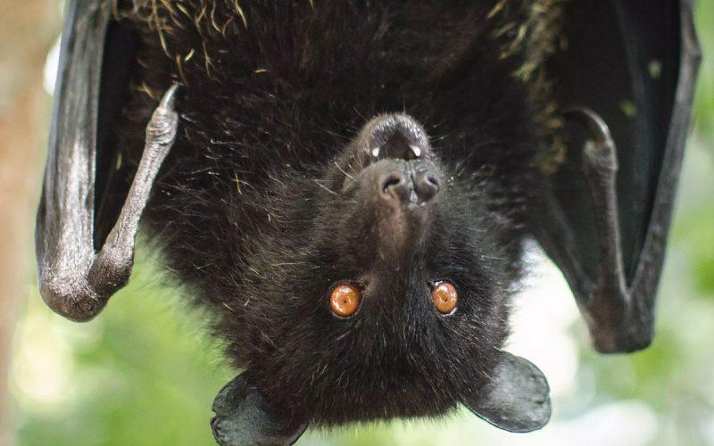 Adotta un pipistrello, alleato invincibile nella lotta contro le zanzare