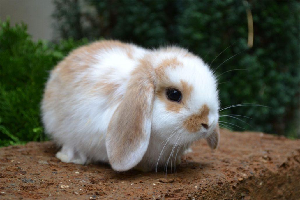 vendita conigli e arieti nani