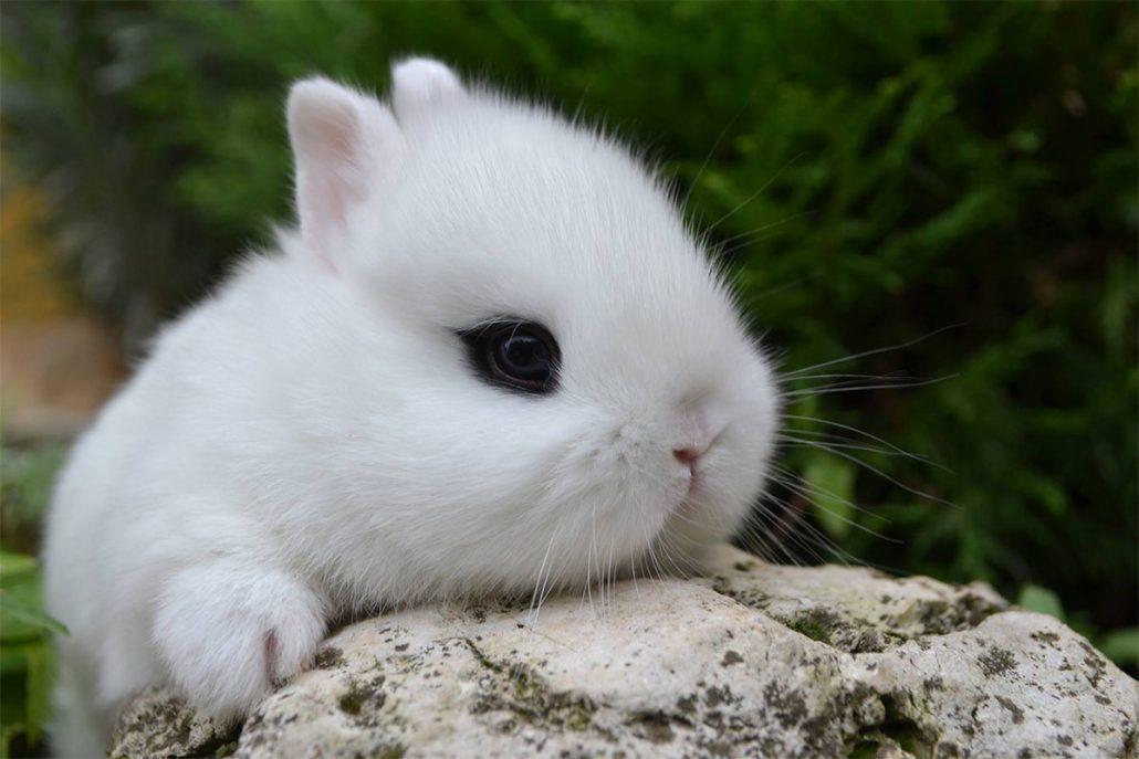 vendita conigli nani