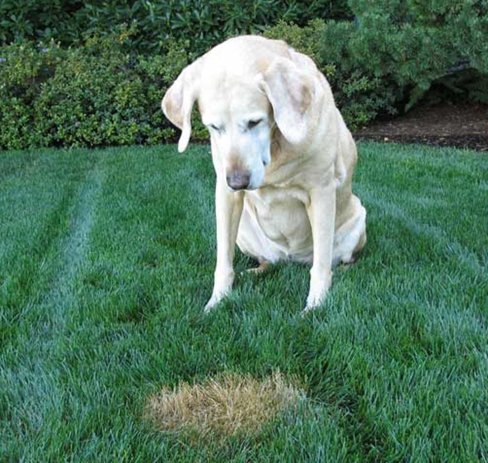 Macchie sull'erba fatte dal cane: la soluzione